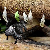 butterfly breeding.jpg