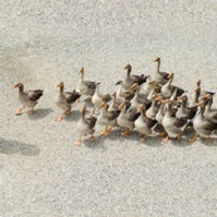 Competitive Duck Herding.jpg