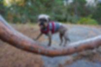 Balansträning med hund