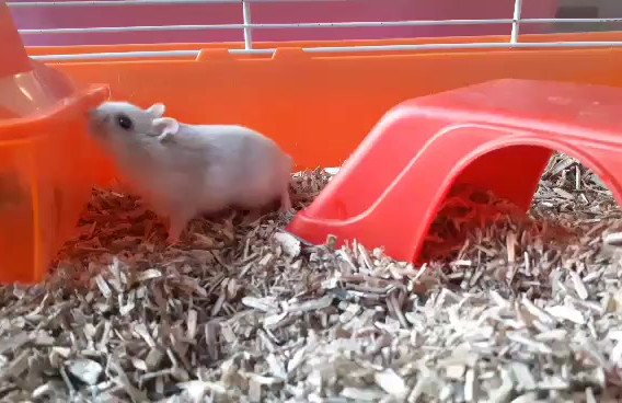 video-hamster1.mp4