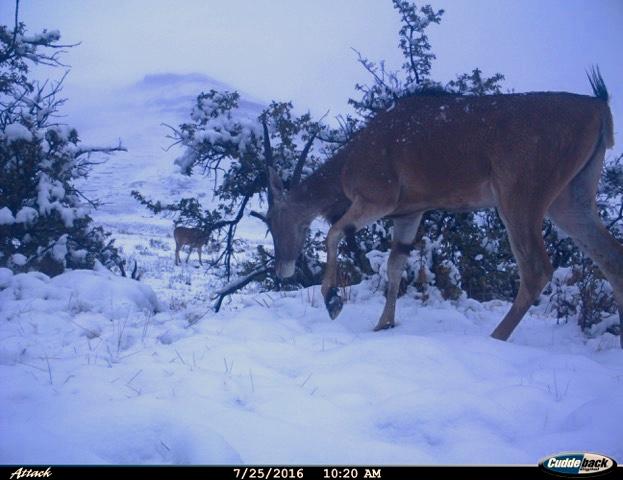 Eland Snow