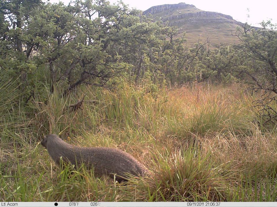 Mongoose Large Grey_