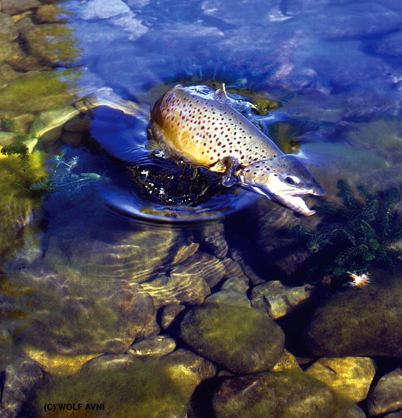brown trout bc
