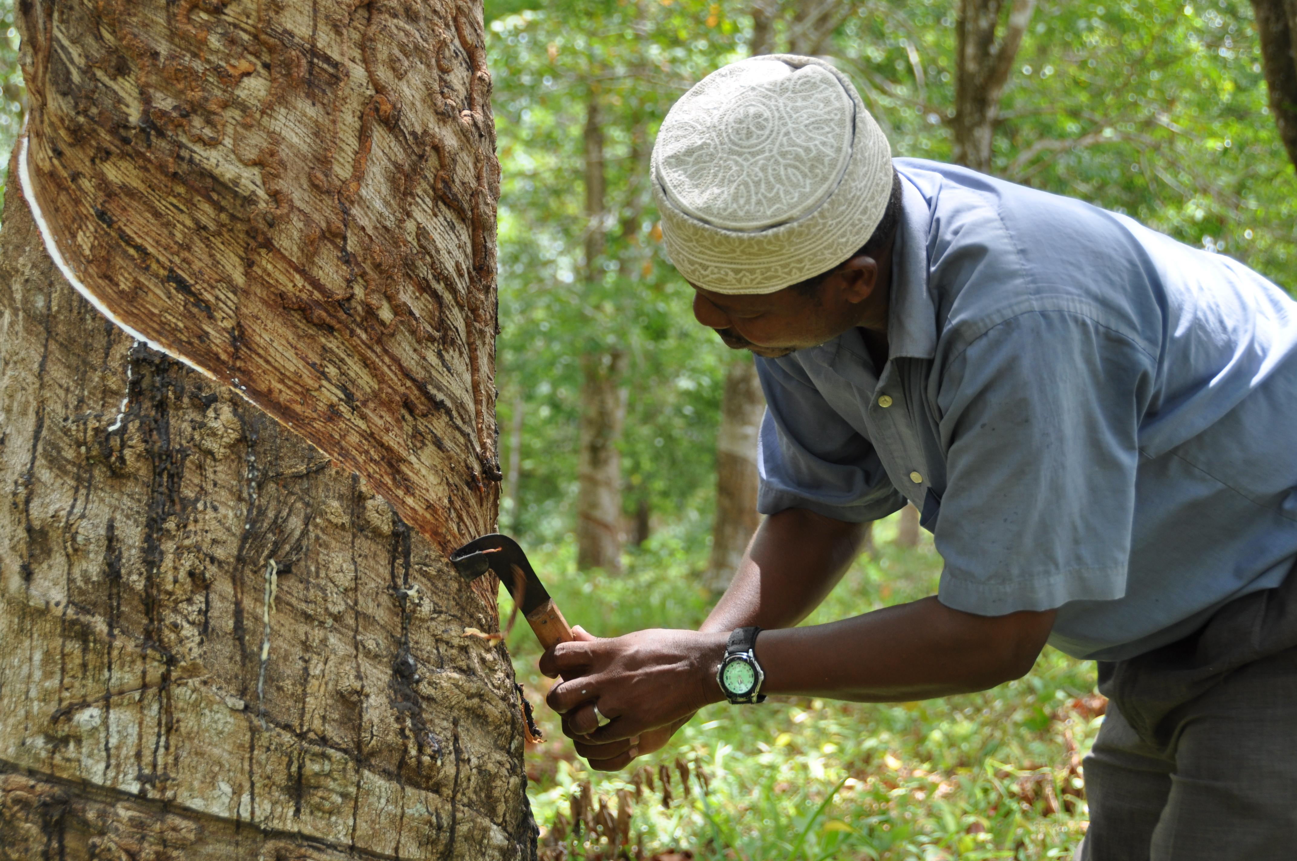 Gummiträdsplantage på Zanzibar