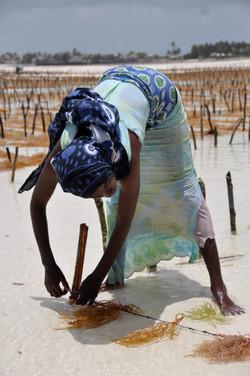 Sjögräsodling på Zanzibar