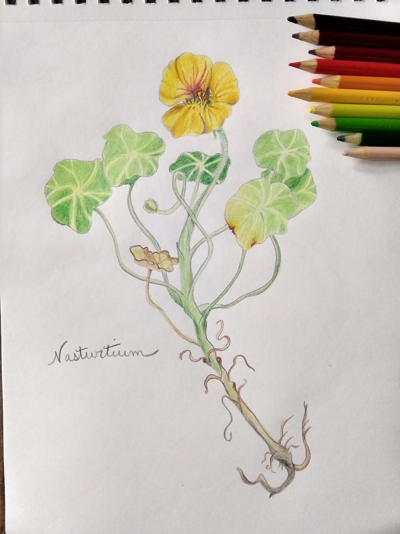 Nasturtium sp.