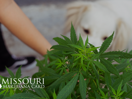 What To Do If Your Pet Consumes Cannabis
