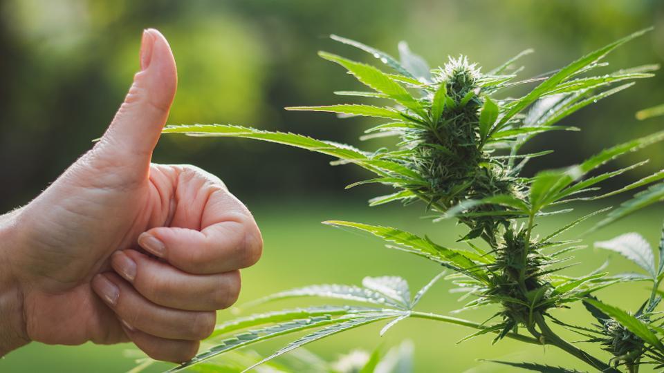 Those Who Use Marijuana Are Happier and Healthier