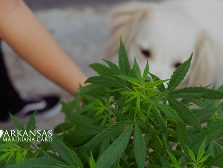 What Should You Do If Your Pet Consumes Cannabis?