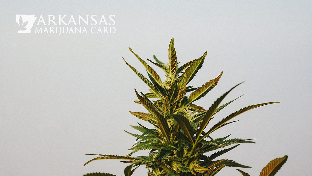 marijuana strains in 2021