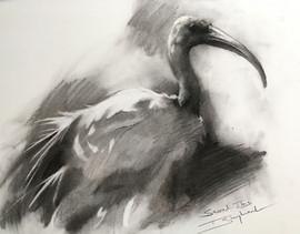 Sacred Ibis Study 1