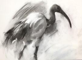 Sacred Ibis Study 2