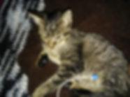 kitten receiving subcutaneous fluid injection