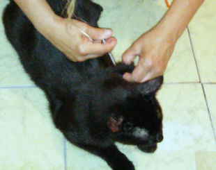 administering insulin injection to cat