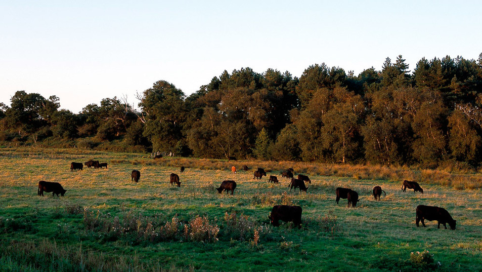 cattle-somerleyton.jpg