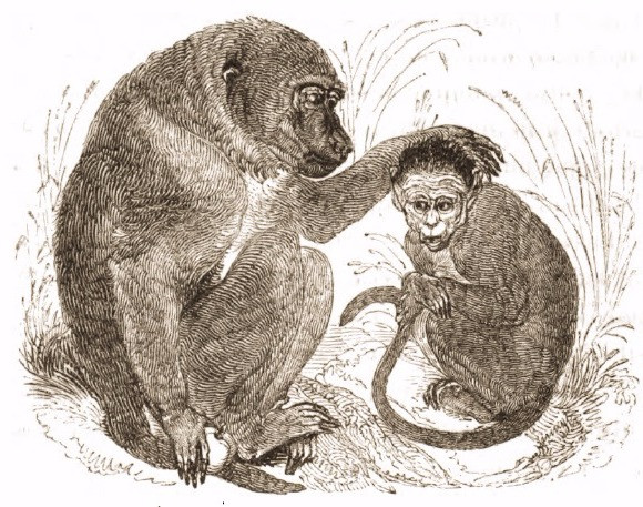 Drawing of baboon, 1820's, Tower of London Menagerie