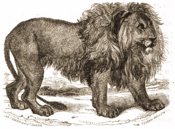 Drawing of lion_1820_Tower Menagerie