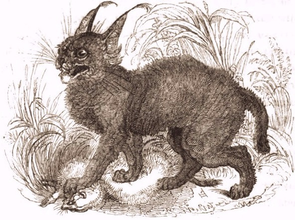 Characal (lynx), 1820's drawing, Tower of London Menagerie