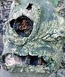Sinister tree, 'Mandrake' radio drama