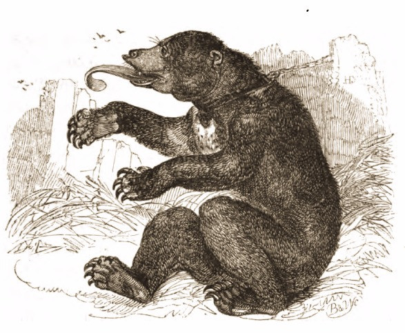 Drawing of Borneo Bear, 1820s, The Tower of London Menagerie