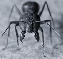 A Big black ant with giant opened jaws l