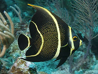 French Angelfish Supermarket Dive Site St Thomas