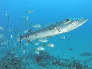 Now You Know: Barracuda