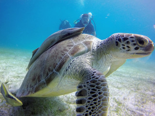 NOW YOU KNOW: GREEN SEA TURTLES
