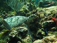 Packet Rock Turtle St Thomas Dive Site