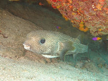 Kennedy Wreck Dive Site Puffer Fish St Thomas