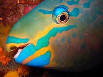 St Thomas Dive Site Guide Armandos Paradise Parrot Fish