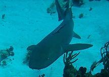 Nurse Shark Navy Barges Dive Site St Thomas Virgin Islands