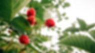 Berry 1.jpg