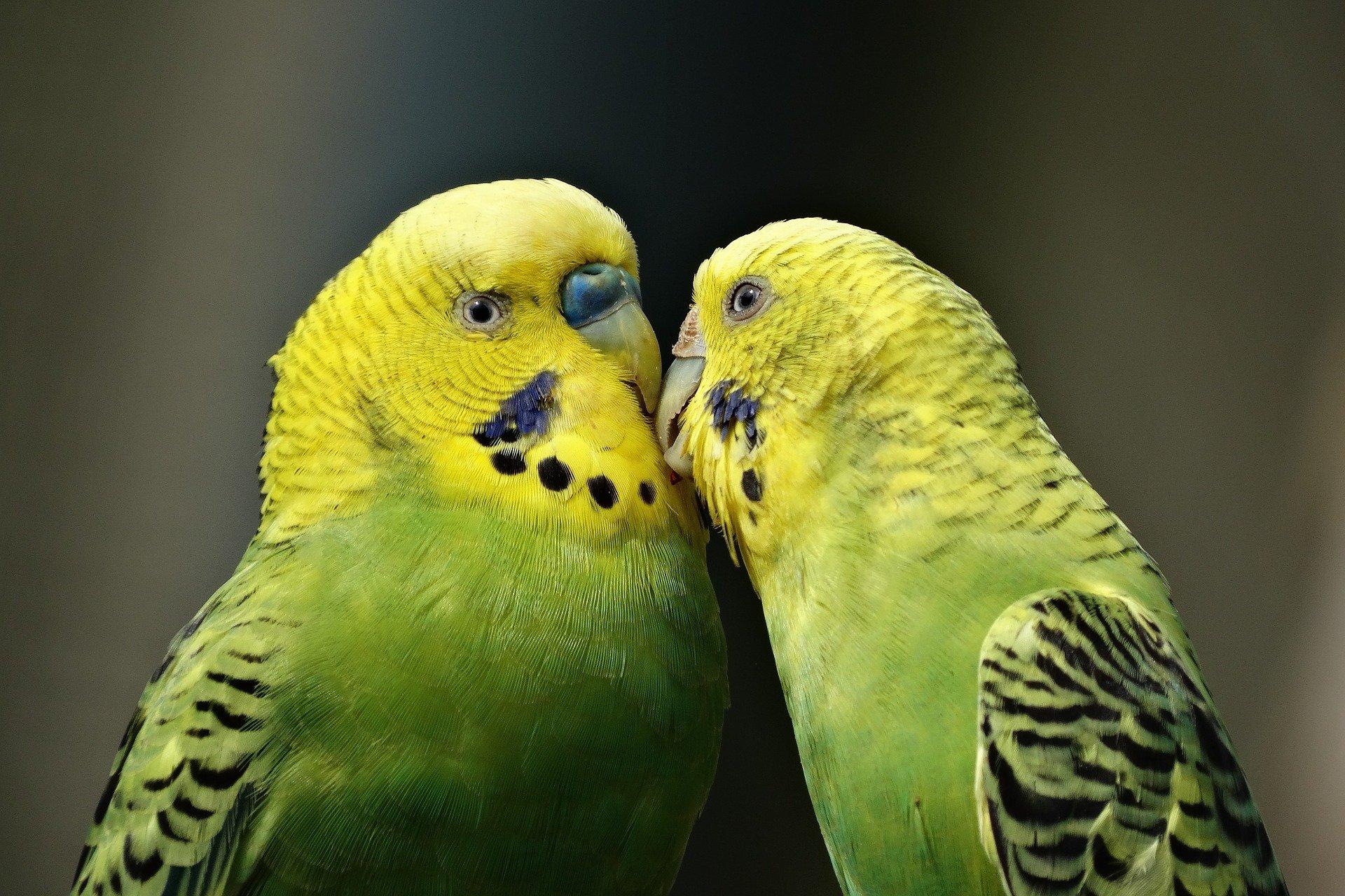 parrots-1729965_1920.jpg