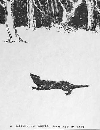 A Weasel In Winter