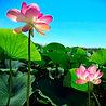 lotus-4613623_1920.jpg