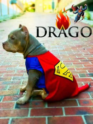 Drago American Bully.jpg