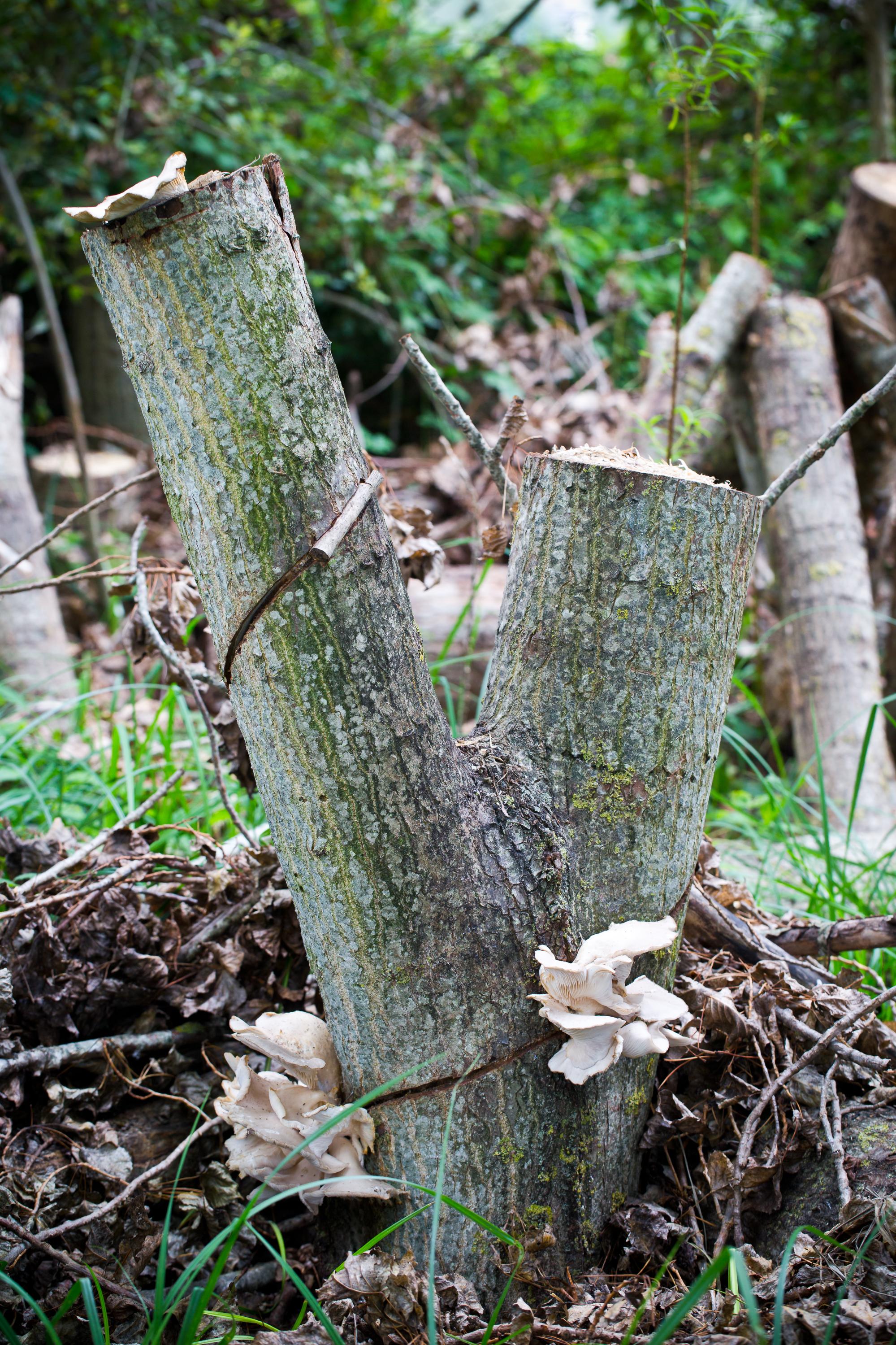 Culture de champignon de L'escargotierimage0047