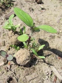 bombe-graines-aries-germination