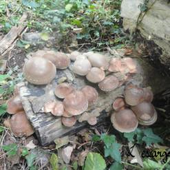 culture de champignon
