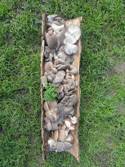 Récolte de champignon L'escargotier