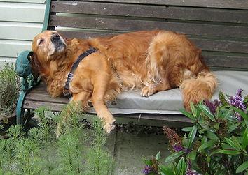 Happy, sleeping golden retriever, Toffee