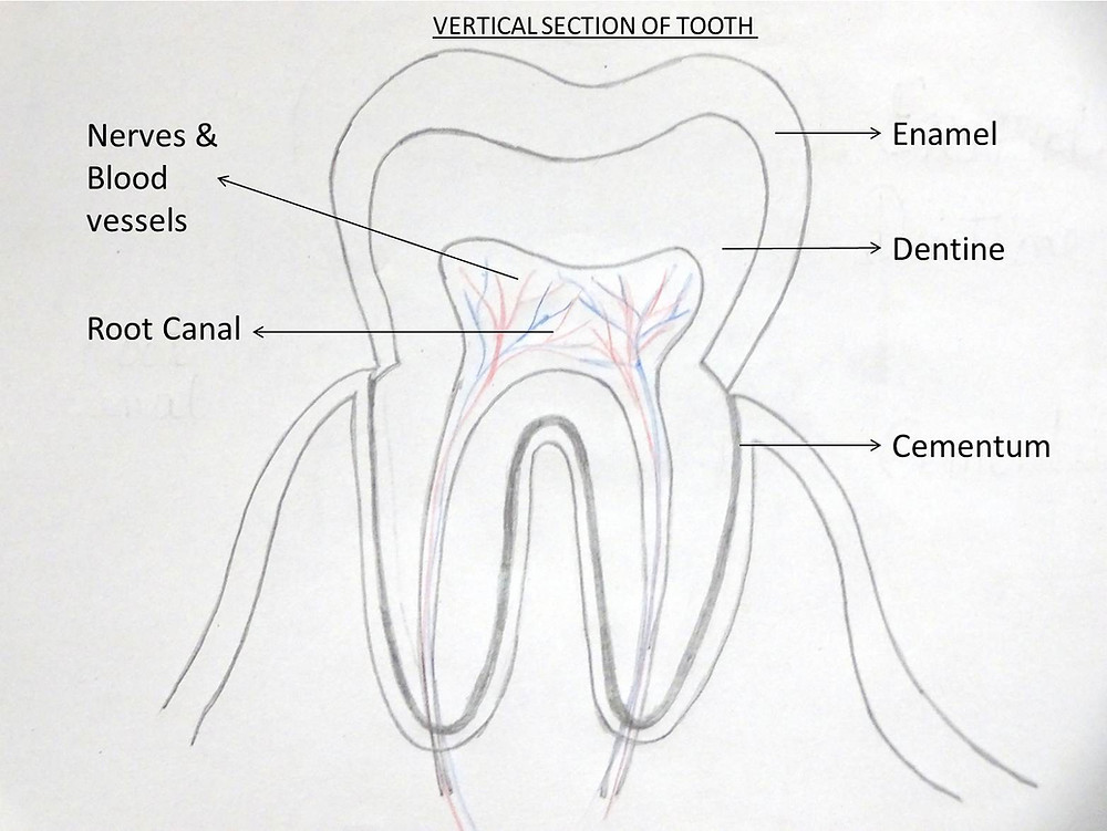 Tooth Vertical Section