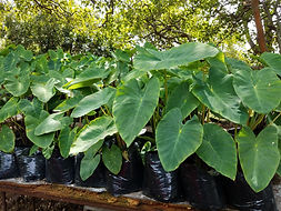 Kalo (taro) leaves