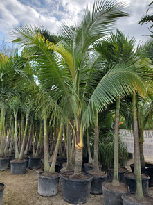 Coconut Palm Tree - Garden Center