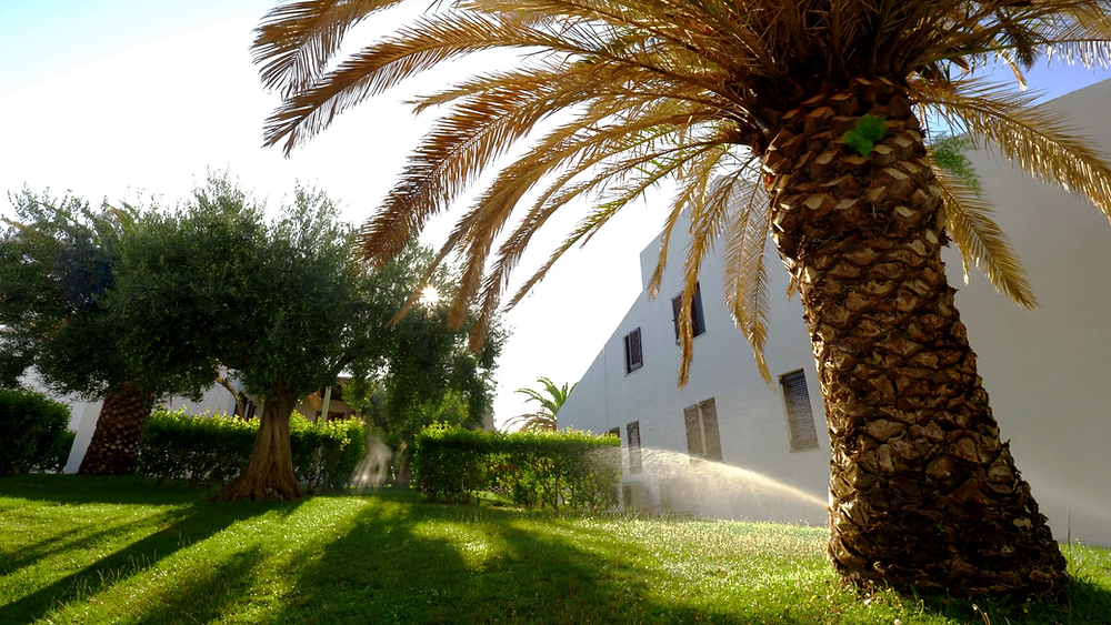 Canary Island Date Palm Tree. How to water your palm tree