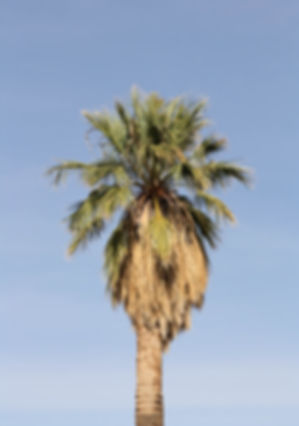 California fan palm tree in the landscape. Mature california fan palm tree