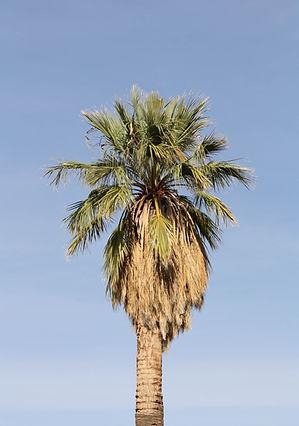 California fan palm tree in the landscape. Mature california fan palm tree