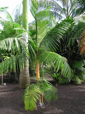 Orange Crownshaft Palm Tree