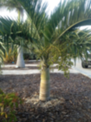 Buccaneer palm tree in the landscape. Rare palm trees
